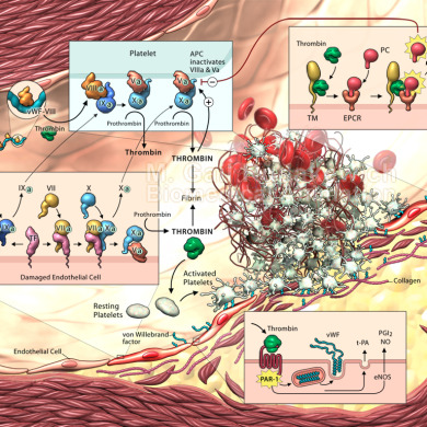 Coagulation cascade and clotting factors (Client: Dr. Jonathan Yau, St. MIchael's Hospital)