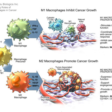 M1 and M2 Macrophages, Opposing Roles in Cancer (Qu Biologics Inc.)