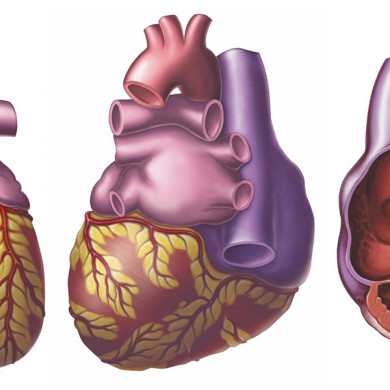 Normal anatomy of the heart, shown in anterior, posterior and cross-sectional views