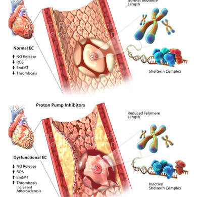 Proton Pump Inhibitors & Endothelial Senescence (Client: Dr. Subodh Verma, St. Michael's Hospital)